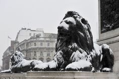 Mane attraction: Even the grand looking lions at the foot of Nelson's Column in London's Trafalgar Square have been covered in snow