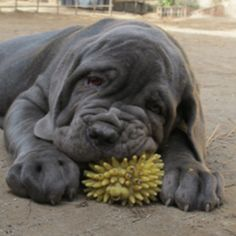 Neapolitan Mastiffs!