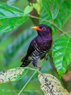 Violet Cuckoo (Chrysococcyx xanthorhynchus)   Flickr - Photo Sharing!