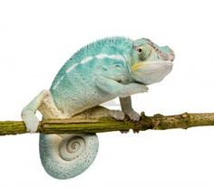 Young Chameleon Furcifer Pardalis