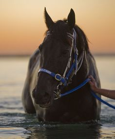 """""""Black Caviar, Australian Thoroughbred racehorse undefeated in 25 races, a success record not equaled for over 150 years."""""""