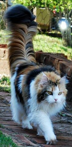 Perhaps one of the most majestic tails you will ever see. - http://cutecatshq.com/cats/perhaps-one-of-the-most-majestic-tails-you-will-ever-see/