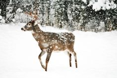 Pretty Deer Walking in The Snow Animals Beautiful, Cute Animals, Beautiful Images, Winter's Tale, Oh Deer, Winter Beauty, Winter Scenes, Winter White, Snow White
