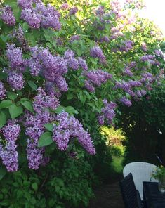 Lilacs. Full or part sun. Although they do well in clay soil, they don't like wet feet (standing water). Water thoroughly but infrequently. This forces their roots to grow deep. A general purpose fertilizer twice yearly.