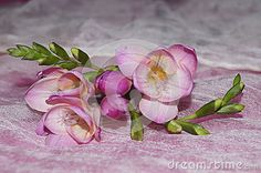 Pink freesia on a white background