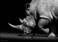 Resultado de imagem para rhinoceros black and white fauna an Animal Memes, Funny Animals, Baby Animals, Wildlife Photography, Animal Photography, Rhino Tattoo, Animal Activities For Kids, Abstract Animals, Animal Sketches