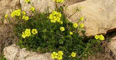 A Oxalis pes-caprae é uma espécie pertencente a família botânica Oxalidaceae que ficou vulgarmente conhecida por erva-canária, erva-aze...