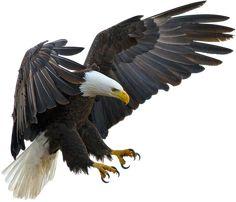 Freigestellt, Adler, Tier, Vogel