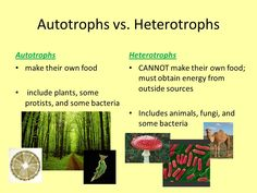 Producers can also be called autotrophs and consumers can be called heterotrophs. This chart shows the differences between them. Neet Notes, Nutrition In Plants, Inorganic Compound, Photosynthesis And Cellular Respiration, Plant Classification, Salivary Gland, Organic Molecules, High School Biology, Cell Wall
