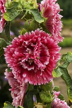 Hollyhock - Alcea 'Fiesta Time'  More compact than other varieties, 'Fiesta Time' grows 3 to 4 feet tall.