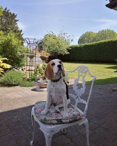 Weeding and tidying in a pretty garden in Charlton, with help from a watchful Olive 🌞 #florist #gardening #beagle Weeding, Beagle, Gardening, Pretty, Instagram, Grass, Weed Control, Beagle Hound, Lawn And Garden