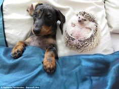 Dachshund dog Maya and the hedgehog Minnie are pictured relaxing in their home in Woking...