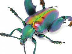 beautiful beetles, pictures of beetles (15)