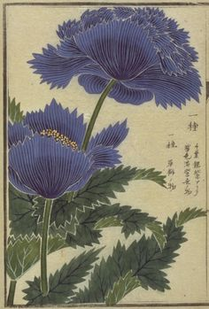Papaver. This image comes from albums of flora (本草図譜) containing more than 700 images from the Museum at the University of Tokyo: honzo database (http://www.um.u-tokyo.ac.jp/dm3/Database/honzo.html)