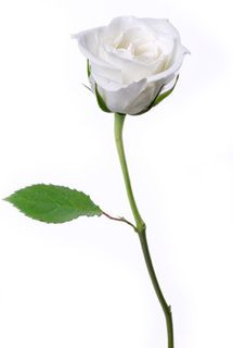 Mary premo auntiemess on pinterest white rose lovely flower picture and wallpaper mightylinksfo
