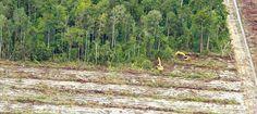 Sie kaufen kein Palmöl? Vielleicht nicht bewusst, doch der Stoff, der die Regenwälder zerstört, steckt in beinahe jedem zweiten Alltagsprodukt. Hier lesen Sie, was Ihnen gerne über Palmöl verschwiegen wird: https://www.regenwald.org/themen/palmoel