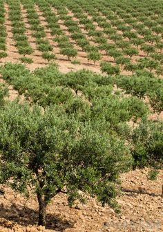 Row upon row of olive trees in Spain spectacular!