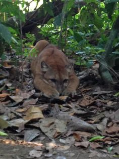 Young puma at Corcovado National Park, Costa Rica