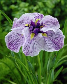 Japanese water iris 'Caprician Butterfly'