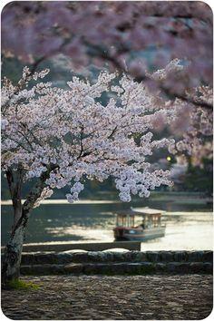 IMG_0516 White Blossom Tree, Cherry Blossom Japan, Sweet Blossom, Blossom Trees, Cherry Blossoms, Glowing Flowers, Tree People, Beautiful World, Beautiful Things