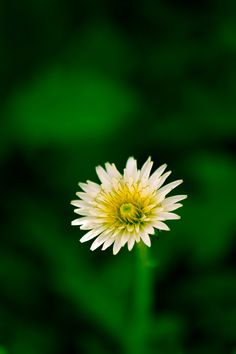 Dandelion that is native to the southern part of Japan. The flower was located in the old town of Tsuwano in Shimane, Japan. Copyright text and photo Ken Shimo.