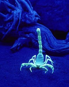 A University of Oklahoma biologist investigated why scorpions grow bright green…