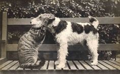 Wire Fox Terrier with Tabby Cat . . .