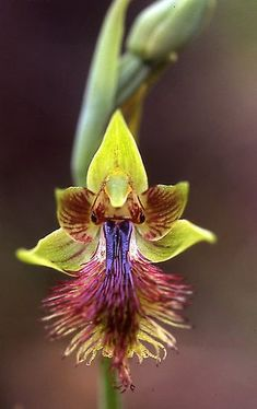 Pale Bearded orchid ~ Calochillus herbaceus by Peter Tonelli