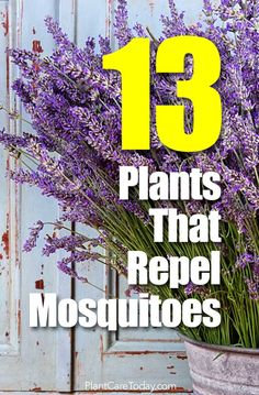 Sick of those annoying blood-sucking mosquitoes? Put down the sprays and nets. Here are 13 different mosquito repellent plants to help keep mosquitoes away.