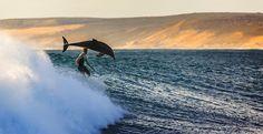 Photo of the Day: Surfing with Dolphins Photography byMatt Hutton (Wickham, Australia);Kalbarri, Australia