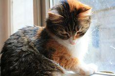 calico cats | Tumblr