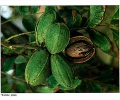 Texas Pecan Trees | Pecans Berries and Nuts
