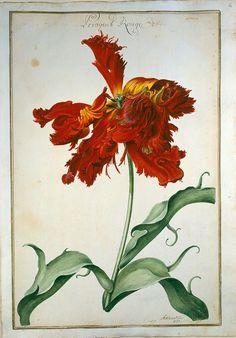 Aquarell aus dem Tulpenbuch um 1730