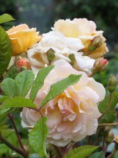 'Ghislaine de Feligonde'   Hybrid Multiflora Rose. Eugène Turbat & Compagnie 1916