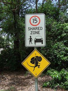 Beware of dancing Frilled Lizards