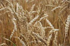 Wheat almost ready to harvest - when wheat is ready to harvest the heads or top part of the plant will become heavy with seeds and tip over thus telling farmers its time to harvest