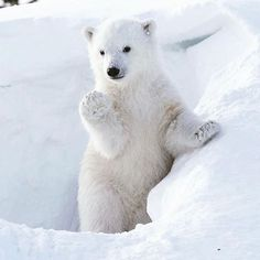 Hi there!  #polarbear #polarbears credit: @muffin094