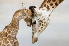 Mother's love - giraffe mother and baby Animals And Pets, Funny Animals, Cute Animals, Wild Animals, Animals With Their Babies, Mother And Baby Animals, Nature Animals, Beautiful Creatures, Animals Beautiful
