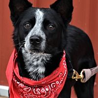 Pictures of Smokey a Australian Shepherd for adoption in Tinley Park, IL who needs a loving home. Australian Cattle Dog, Australian Shepherd, Tinley Park Illinois, Working Dogs, Dog Stuff, Rescue Dogs, Pet Adoption, Safari, Meet