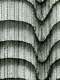 Abies alba / Silver Fir
