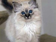 Lynx Point Birman Kitten