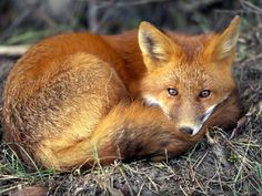 #fox #animal #nature♡♡♡