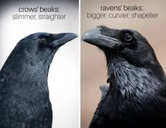 Ravens' Beaks: Crows' beaks are significantly slimmer and straighter than ravens' fuller, curvier, more hooked beaks. Raven Color, Raven Bird, Crow Or Raven, Crow Painting, Baby Crows, American Crow, Birds In The Sky, Raven Tattoo, Tatoo