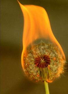 I want this to happen to all the dandelions in my yard.  In either of two ways: The coolest way being if they were in a state of perpetual flame like Ghost Rider.  The not as cool but nonetheless satisfying way being that they just spontaneously combust and never come back again.