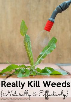 Learn how to get rid of weeds naturally using a Vinegar Weed Killer. Follow my recipe and keep your soil healthy while getting rid of weeds. #organicgardening #naturalweedkiller #vingearweedkiller Garden Weeds, Lawn And Garden, Garden Plants, Garden Fun, Garden Water, House Plants, Organic Gardening, Gardening Tips, Vegetable Gardening