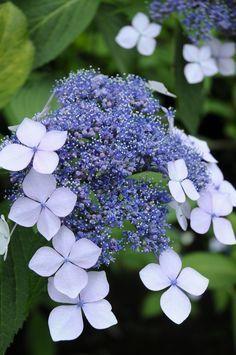 Hydrangea -love the way the flowers emerge. Hortensia Hydrangea, Hydrangea Flower, Flower Vases, Flowers Perennials, Planting Flowers, Amazing Flowers, Beautiful Flowers, Beautiful Things, English Flower Garden