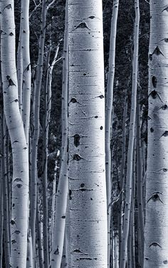 If you're looking to style scandi inspired space, this silver birch tree wallpaper features white tones and crisp lines. Wood Effect Wallpaper, Tree Wallpaper Mural, Forest Wallpaper, White Glitter Wallpaper, Black And White Wallpaper, Slim Tree, Birch Forest, Fade To Black, Nature Inspired