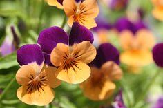 Violet  Source: http://en.wikipedia.org/wiki/Biological_pigment