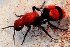 """The Cow Killer Ant is also known as Velvet Ant or Red Wasp. While called """"ant,"""" it is actually a wingless female wasp that can inflict a painful sting. The male wasp does have the advantage of flight. The black and white varieties are usually called """"Panda Ants"""".  http://wildflowers.jdcc.edu/Cow_Ant.html"""