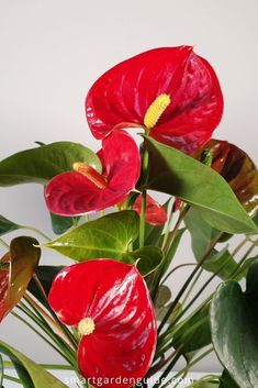 Complete Anthurium care guide, covering all you need to know to grow these wonderful houseplants. I cover all aspects of houseplant care, including watering, soil, humidity, fertilizing, temperature, pruning, repotting, as well as how to fix and prevent all the common houseplant care problems. Grow healthy Flamingo flowers with ease, and enjoy fantastic blooms all year round.